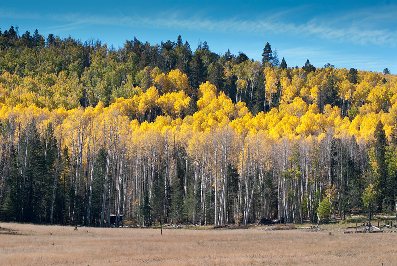 Enjoy a winding loop drive along Hwy. 180 to get to Hart's Prairie in Northern Arizona.<br /> Fern meadows, tall grasses, wild flowers, Aspen trees and Ponderosa Pines are all mixed together in this scene on a sunny Fall day.