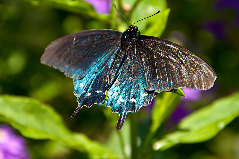 Pipevine Swallowtail, (Battus philenor philenor)