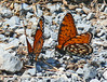 Viceroy and Regal Fritillary