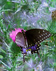Black Swallowtail on Thistle<br /> Madison, WI<br /> © WEOttinger, The Wildflower Hunter - All rights reserved<br /> For educational use only - this image, or derivative works, can not be used, published, distributed or sold without written permission of the owner.