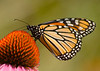 Monarch {Danaus plexippus} on Coneflower<br /> Chicago, IL<br /> © WEOttinger, The Wildflower Hunter - All rights reserved<br /> For educational use only - this image, or derivative works, can not be used, published, distributed or sold without written permission of the owner.