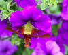 Hummingbird moth 0801-1-1