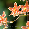 Tropical Orchid – Orchid in a Greenhouse