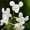 Moth Orchid – Phalenopsis Orchid in a Greenhouse