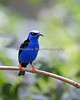 Red-legged Honeycreeper.  From what I've read, this is a male in breeding plumage.