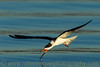 """Black Skimmer Skimming"""