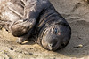 """Very Young Elephant Seal Pup"""