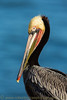 """California Brown Pelican Portrait"""