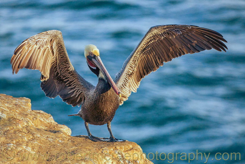 """Pelican Flaps His Wings"""