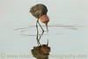 """Reddish Egret Reflection"""