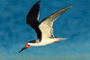 """Black Skimmer in Flight"""