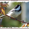 Black-capped Chickadee - May 13, 2010