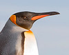 "This photograph of a King Penguin was captured within Parque Pinguino Rey (King Penguin Park) in Tierra del Fuego portion of Patagonia, Chile (4/15). <FONT COLOR=""RED""><h5>This photograph is protected by International and U.S. Copyright Laws and shall not to be downloaded or reproduced by any means without the formal written permission of Ken Conger Photography.<FONT COLOR=""RED""></h5>"