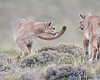 "This photograph of two Pumas was captured within Torres del Paine National Park in Patagonia, Chile (4/15). <FONT COLOR=""RED""><h5>This photograph is protected by International and U.S. Copyright Laws and shall not to be downloaded or reproduced by any means without the formal written permission of Ken Conger Photography.<FONT COLOR=""RED""></h5>"