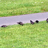 Starlings foraging