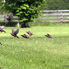 Starling Flight