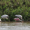 carara woodstorks and spoonbills