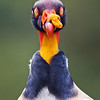 King vulture with eyelids closed.