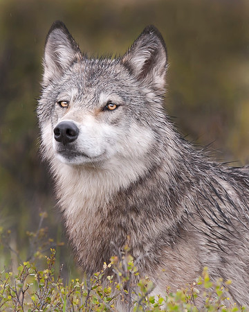"This Wolf photograph was captured while photographing some waterfowl in the Wonder Lake area of Denali National Park, Alaska (6/10).     <FONT COLOR=""RED""><h5>This photograph is protected by the U.S. Copyright Laws and shall not to be downloaded or reproduced by any means without the formal written permission of Ken Conger Photography.<FONT COLOR=""RED""></h5>"