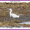 Snowy Egret - April 9, 2011 - Sambro, NS