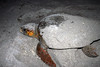 loggerhead turtles layin eggs