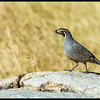 Male California Quail strutting along the rocks above the watering hole.