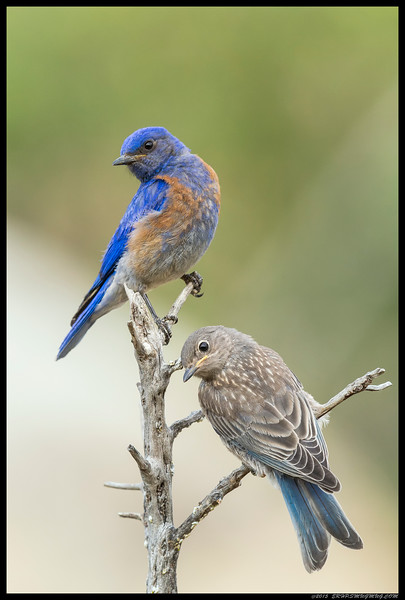 Male Western Bluebird with a fledgling.