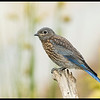 Juvenile Western Bluebird debating to fly up or down.