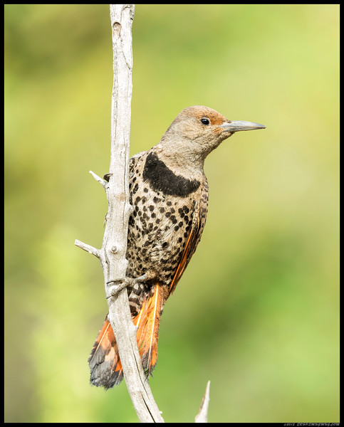 Female Northern Flicker stopped by for a drink and decided to scope out the area for threats.