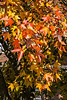 D312-2013 American Sweetgum or Sweet Gum tree (Liquidambar styraciflua)<br /> <br /> Sweet Gums in the area exhibited a wide range of foliage colors, as usual, often on the same tree.<br /> <br /> Eastern Michigan University, Ypsilanti<br /> November 8, 2013