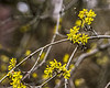 D105-2013 Cornelian cherry, Cornus mas.<br /> The blossoms were just beginning to open.  Most were still in bud.<br /> .<br /> Ann Arbor, Michigan<br /> April 15, 2013