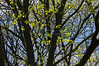 Oak trees is spring...flowers and young leaves<br /> <br /> Nichols Arboretum, Ann Arbor<br /> April 17, 2012<br /> (nex5n)