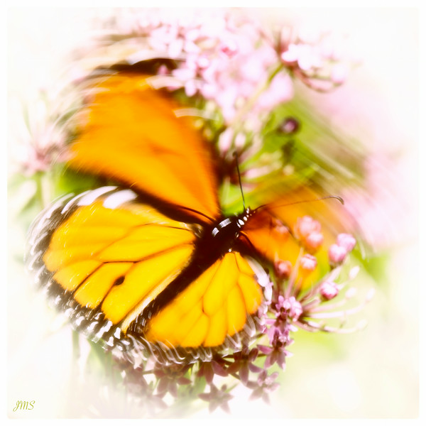 Monarch Wings in Motion