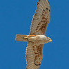 Ferruginous Hawk - near Kuna, ID.