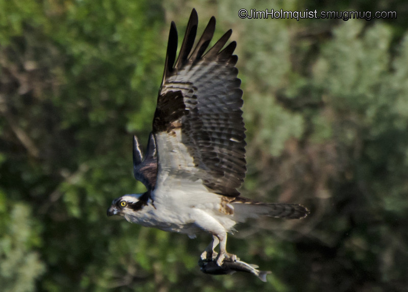 """F"" is for Fishing  Osprey with a tasty catch."