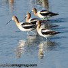 American Avocet - gracefully wading near Idaho Falls, Id.
