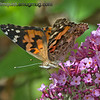 Painted Lady Butterfly - Taken near Olympia, Wa.<br /> <br /> Update: thank you for the ID