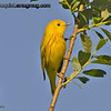 Yellow Warbler - near Olympia, Wa. Taken in June.  Happy Thanksgiving!