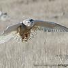 Snowy Owl - near Ocean Shores, Wa