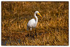 Heron in Golden Reeds<br /> August 6, 2103
