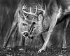 "This photograph of two buck White-tailed Deer fighting or sparring was captured in Shenandoah National Park, Virginia (11/13).  <FONT COLOR=""RED""><h5>This photograph is protected by the U.S. Copyright Laws and shall not to be downloaded or reproduced by any means without the formal written permission of Ken Conger Photography.<FONT COLOR=""RED""></h5>"