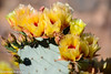 Prickly Pear - Unfurling-1