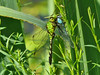 Common Pondhawk eating a Double-striped Bluet