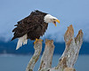 This yelling Bald Eagle photograph was captured in Homer, Alaska (3/2008).   This photograph is protected by the U.S. Copyright Laws and shall not to be downloaded or reproduced by any means without the formal written permission of Ken Conger Photography.