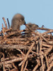 It took a while, but I was able to capture both baby Bald Eagles in the nest.