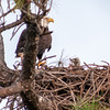 One of the baby Bald Eagle's parents on the nest with them.