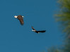 Both adult Bald Eagles in flight to chase off a Vulture