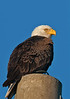 Bald Eagle portrait on top of the power pole