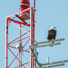 One of the Bald Eagle parents high atop a radio tower keeping a lookout for any potential predators in the area.