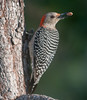 Red-bellied Woodpecker with some food in its beak